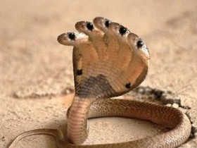 印度神庙惊现无头蛇 印度民众纷纷朝拜