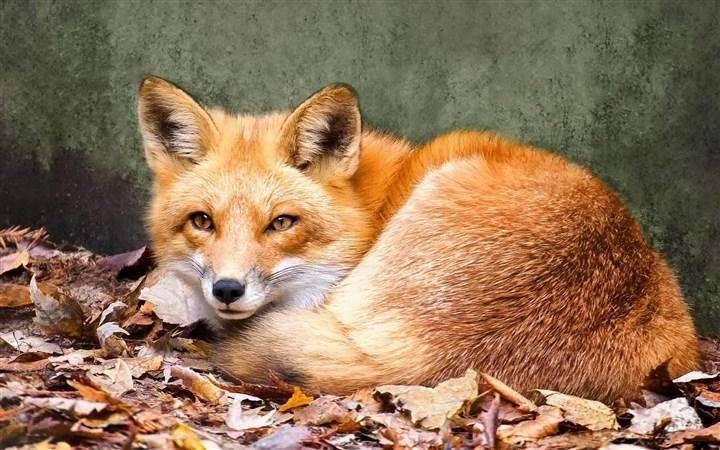 狐狸娘的报复