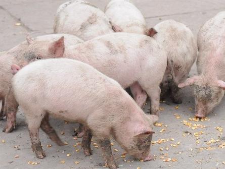 梦见小猪吃食