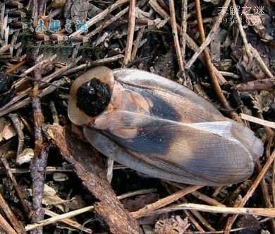 男子养伪死人头蟑螂当宠物:130几种品种20万只蟑螂的窝