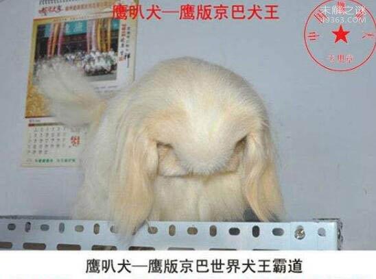 鹰叭犬数量竟比大熊猫还要稀少,最贵一千万美金一条