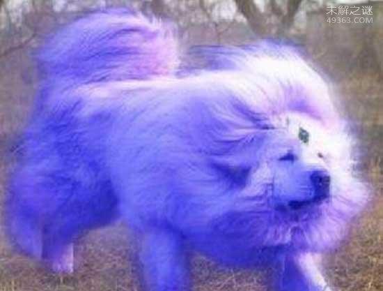 稀有藏獒神秘海蓝兽,皮毛泛光似移动的冰山(真实存在)