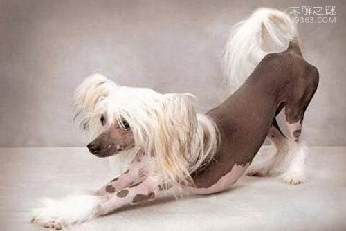 世界最丑的狗狗竞赛, 中国冠毛犬夺冠了!