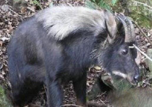 神农架的一种驴头狼身的怪物:不少人声称见过