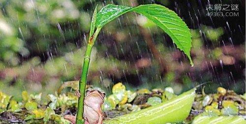 打伞雨蛙竟有人类一般聪明的智慧,会为自己遮风挡雨