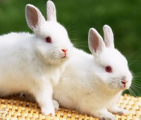梦见灰兔崽
