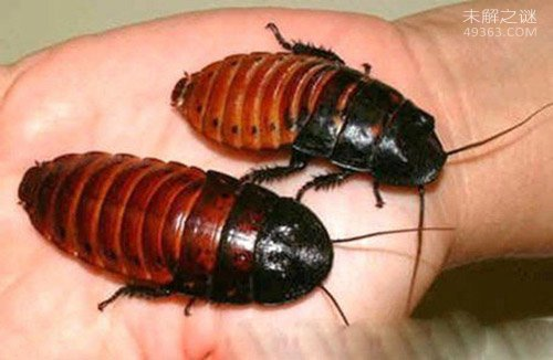 蟑螂怕什么?蟑螂大约有6000多种竟只有50种是害虫