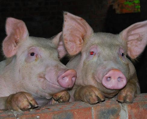 梦见猪圈、猪
