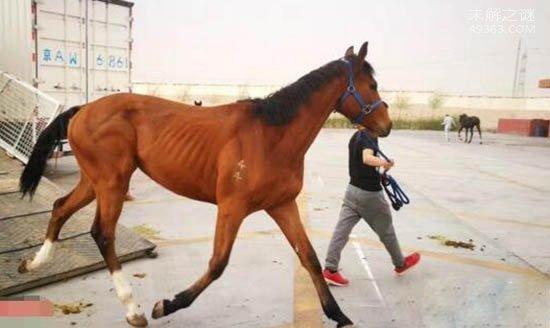 世界上最快的马也是最好的马,纯血马非常的昂贵
