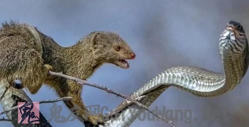非洲毒蛇遇到它连逃命的机会都没有